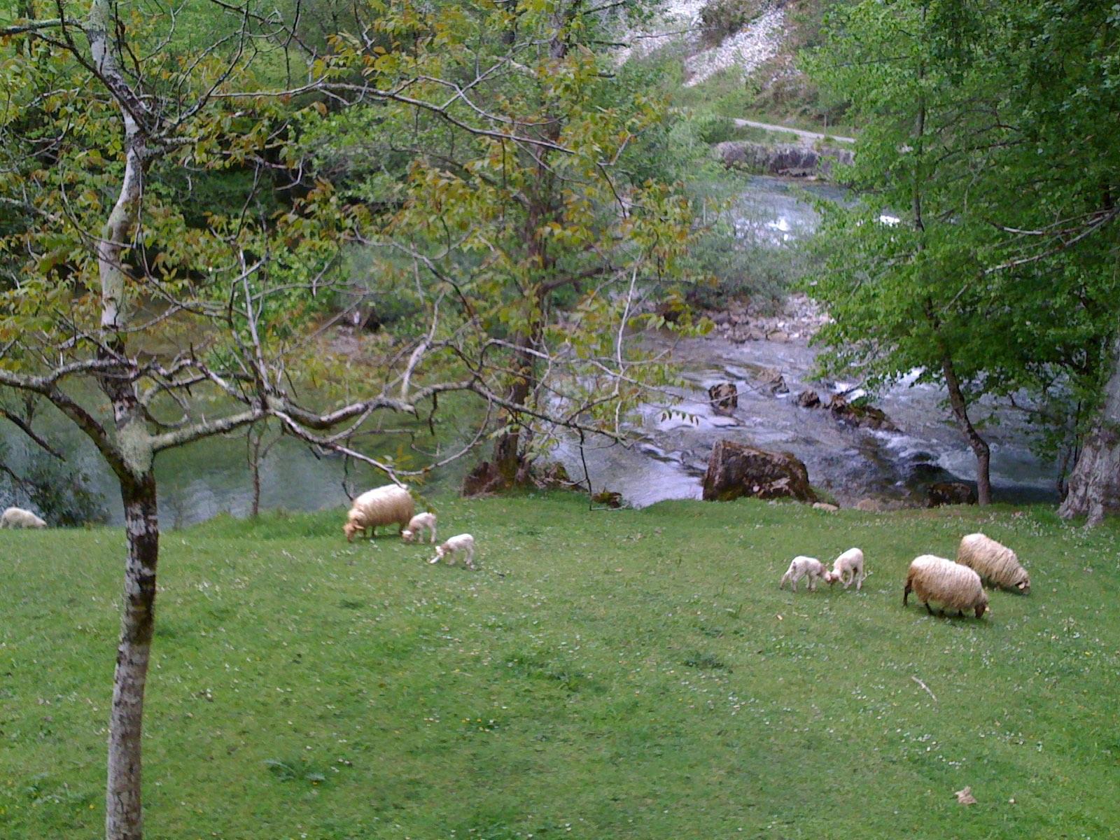 Hoya, ovejas